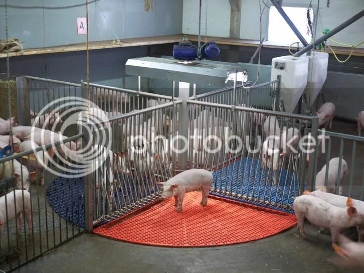 pig photo pig_zpsbcd204e5.jpg
