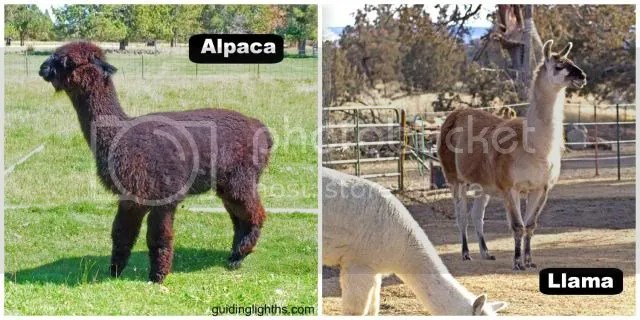 photo AlpacaCollage_zps79fc340d.jpg