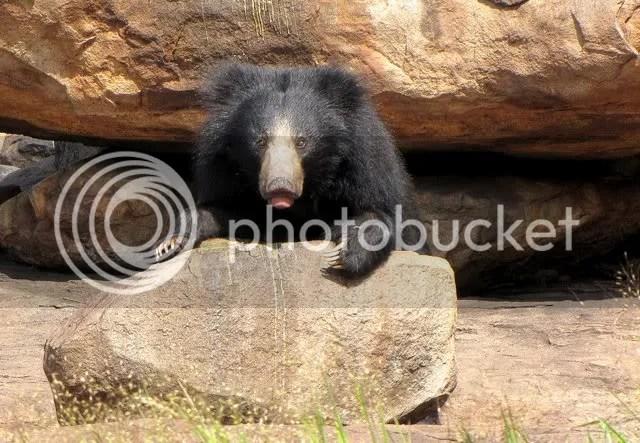 bear on rock 100910 photo IMG_1957-1.jpg