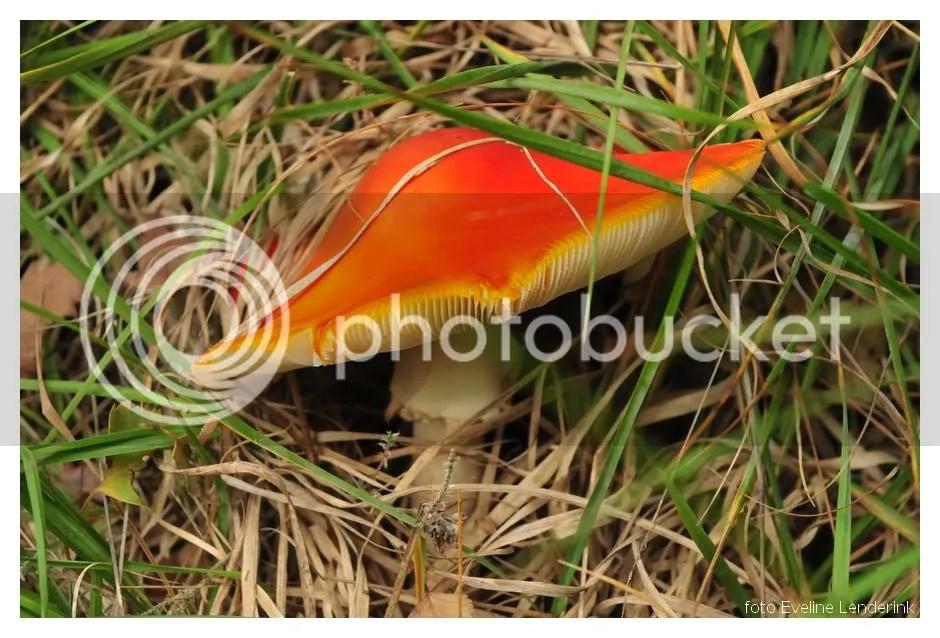paddenstoelbuurserzand2.jpg rode hoed picture by musseke