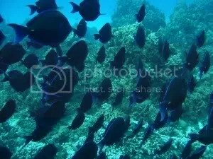 A school of Blue Tang at MoChe Bajo reef on the snorkel tour with Geofish Dive