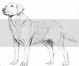 labrador retriever coloring pages photo labradorretrievercoloringpage