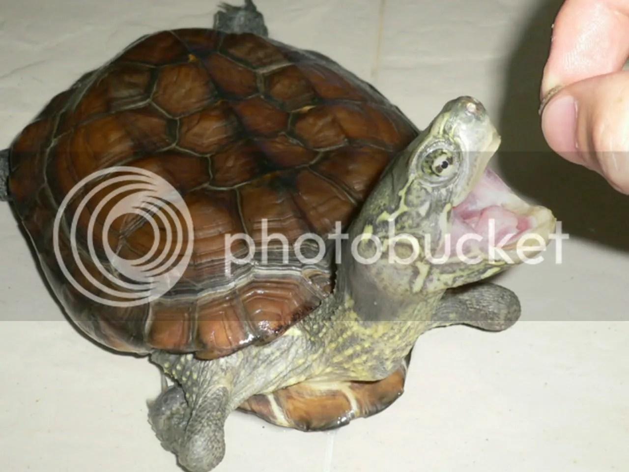珍珠龜 | [組圖+影片] 的最新詳盡資料** (必看!!) - www.go2tutor.com