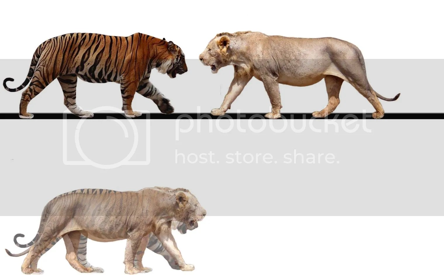 Muscularity And Upper And Tigress Lion And Lioness Comparison Tiger Forelimb