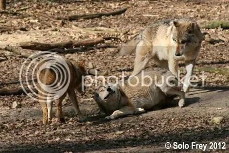 klan-loup-agression-ethologie