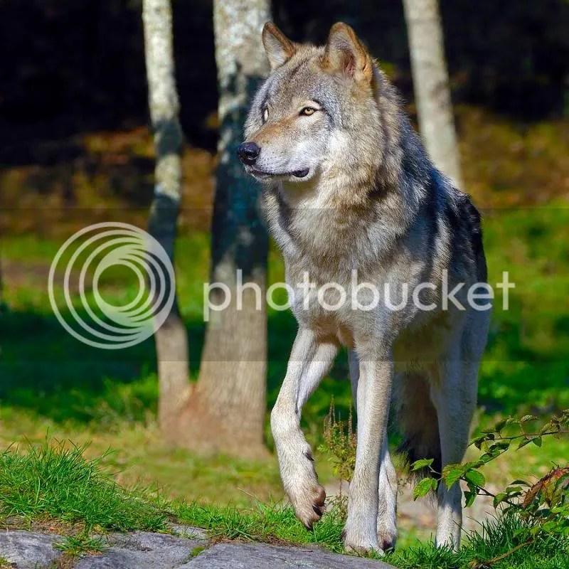 le maitre des loups photo lemaitredesloups_zps2d738305.jpg