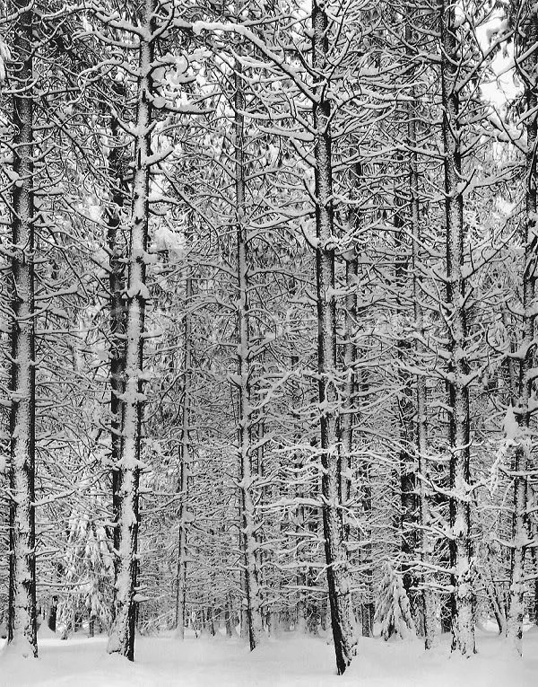 Ansel Adams, Trees and Snow