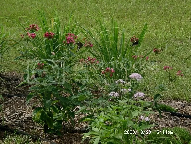 Pentas and Lemon Grass with Butterflies