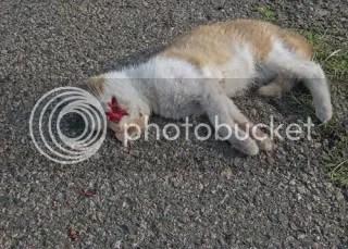 dead orange-white kitty