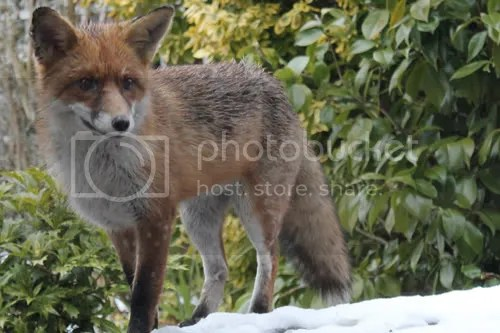 cheltenham garden fox 3