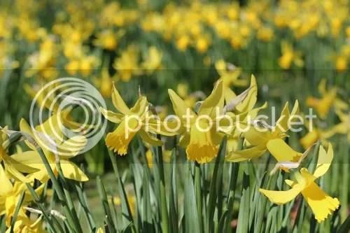 Green Park Daffodils 2