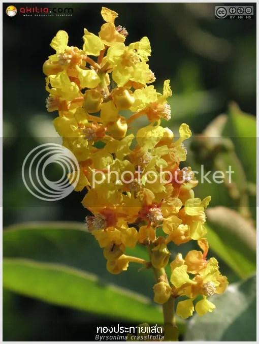 ทองประกายแสด, ช่อทองคำ, Byrsonima crassifolia, Nance, ต้นไม้, ดอกไม้, aKitia.Com