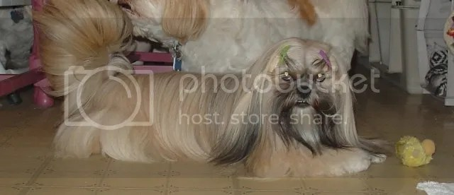 Sophie beaded Lhasa Apso akc dog pin custom jewelry etsy