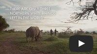 Saving the northern white rhino