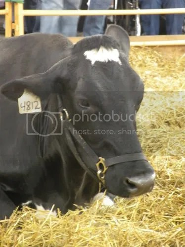 pregnant cow portrait