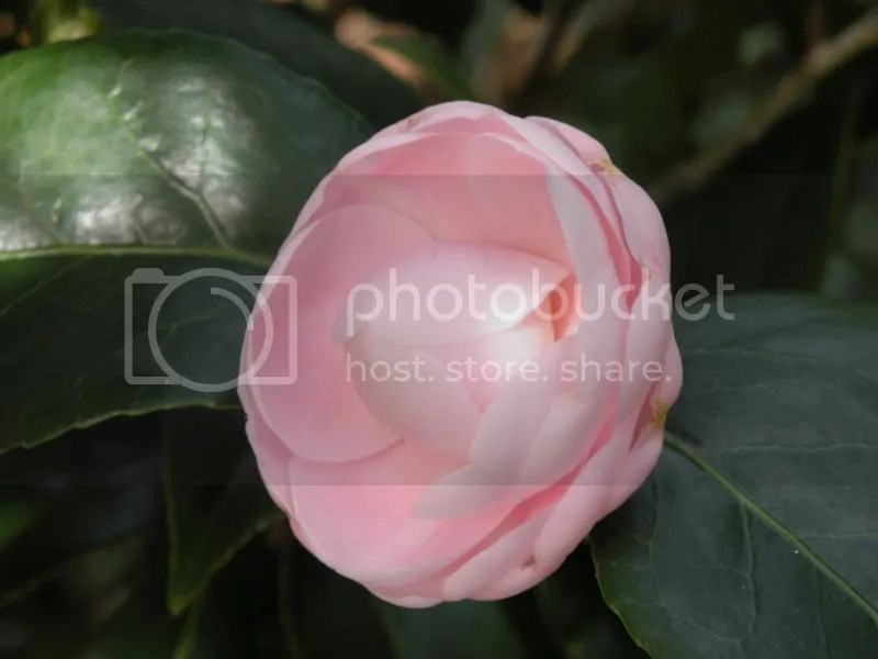 The Sly Camellia