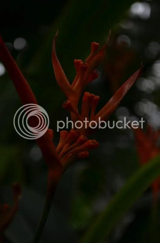 Mockingbird of Paradise