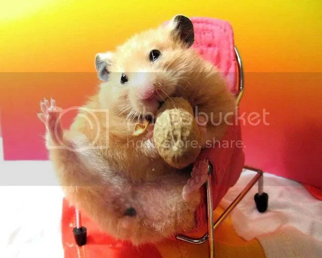 hamster photo:  homyak_34.jpg