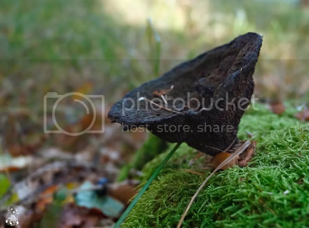 Dry mushroom on a log covered in moss in the forest in Saxony, Germany