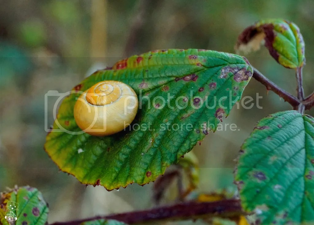 Snail on a leaf near the beach at Bakenberg on the Island Rügen at the Baltic Sea, in Germany