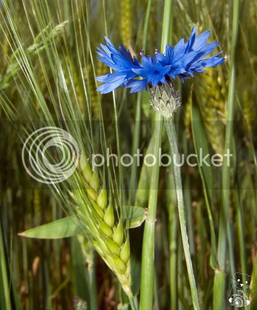 Cornflower in a wheat field in Germany