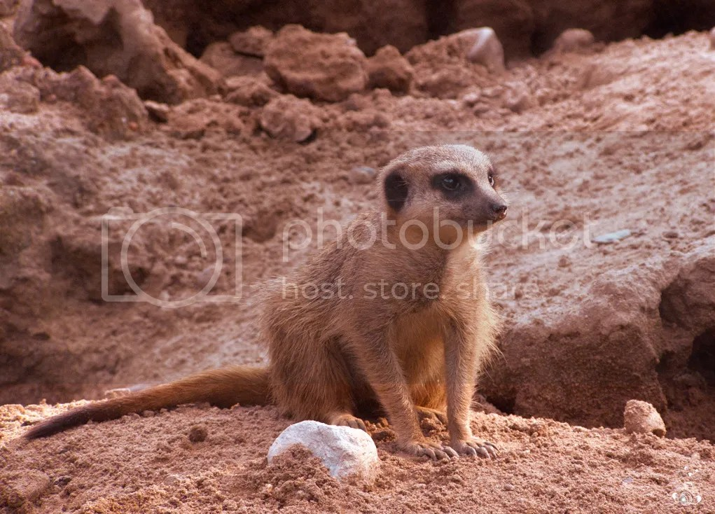 Meercat at the Zoo in Dresden, Germany