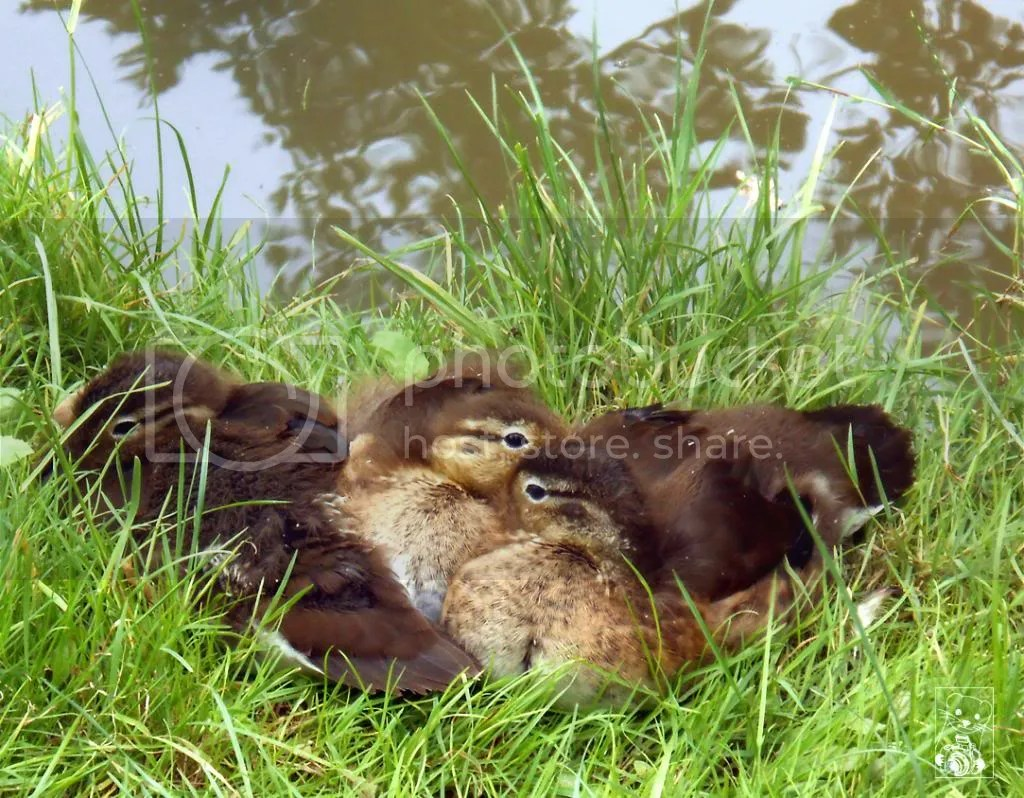 Ducklings sitting in the grass close to each other so they can keep warm in Großer Garten  in Dresden Germany