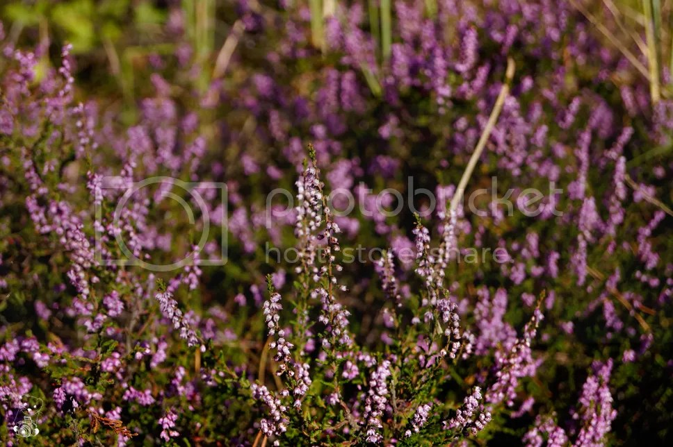 Violet wilde flowers basking in the August Sun in Senftemberg, Germany