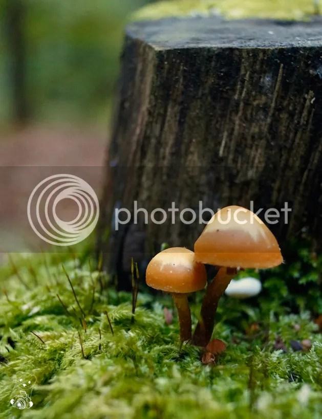 Kuehneromyces mutabilis - Sheathed Woodtuft - Laußnitzer Heide, Saxony, Gerrmany