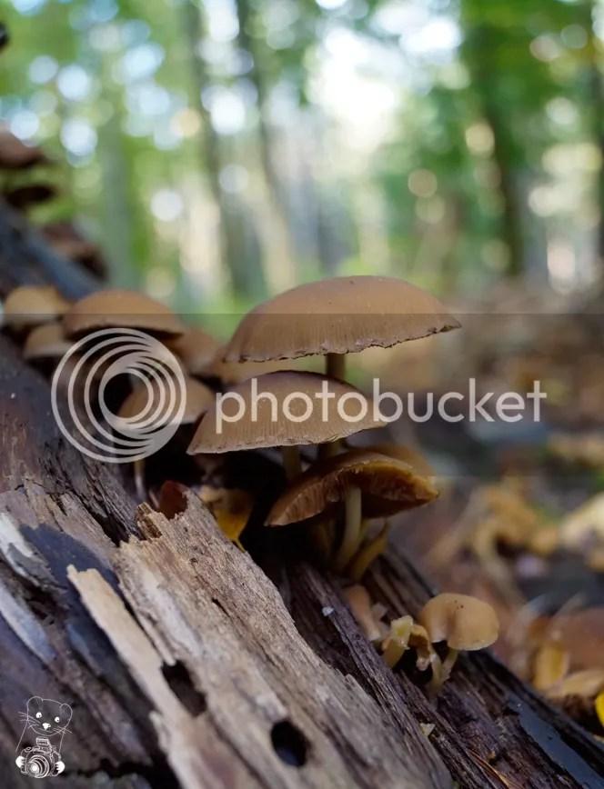 Laußnitzer Heide, Saxony, Germany - Psathyrella multipedata - Clustered Brittlestem