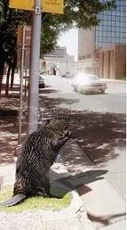 Hey...nice beaver!
