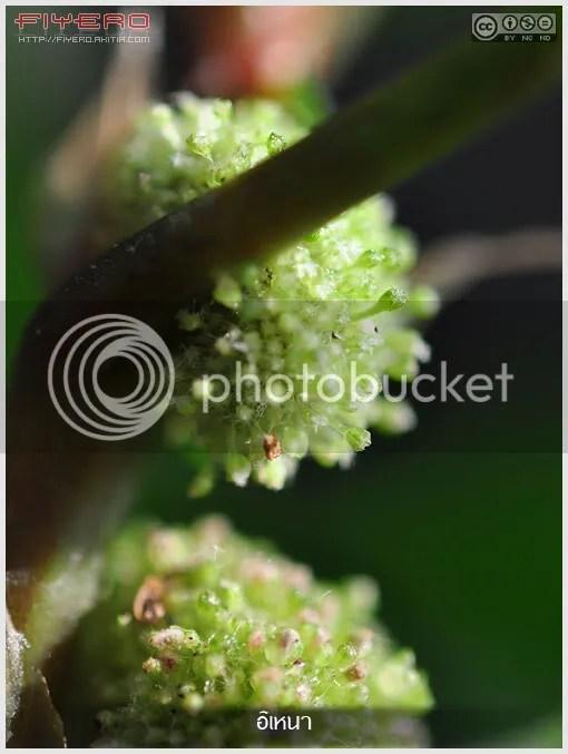 อิเหนา, ต้นอิเหนา, Elatostema sp, ไม้ใบ, ไม้เลื้อย, ไม้หายาก,  ไม้ในร่ม, ไม้ประดับ, ต้นไม้, ดอกไม้, aKitia.Com