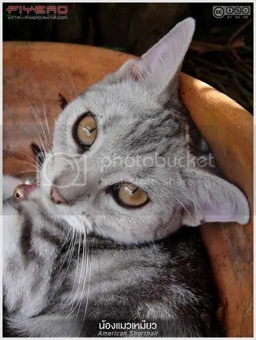 น้องแมวเหมียว, แมว, American Shorthair, aKitia.Com
