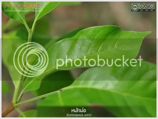 หมักม่อ, หมักหม้อ, ต้นหมักม่อ, หมากหม้อ, Rothmannia wittii,  ขี้หมู, ไม้ไทย, ไม้ดอกหอม, ไม้แปลก, ไม้หายาก, ต้นไม้, ดอกไม้,  aKitia.Com