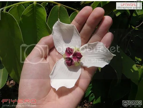 มหาพรหม, Mitrephora winitii, ไม้ดอกหอม, วงศ์กระดังงา, ต้นไม้, ดอกไม้, aKitia.Com