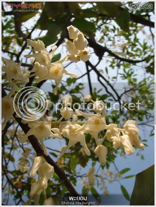 พะยอม, พยอม, สุกรม, พะยอมดง, พะยอมทอง, Shorea roxburghii, ไม้ดอกหอม, ไม้ไทย, ดอกสีขาว, Meranti, กะยอม, ขะยอมแดง, เชียง, เซี่ยว, ยางหยวก, ขะยอม, แคน, ต้นไม้, ดอกไม้, aKitia.Com