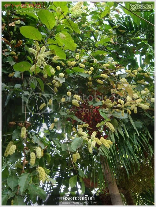 เครืออวดเชือก, อวดเชือก, ไม้ดอกหอม, ไม้หายาก, ไม้เถา, ไม้เลื้อย, Combretum latifolium, มันแดง, แหนเหลือง, แกดำ, ถั่วแป๋เถา, เถาแสงอาทิตย์, ต้นไม้, ดอกไม้ , aKitia.Com