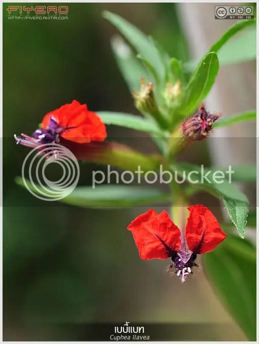เบบี้แบท, Baby Bat, เรดบันนี่, คิวเฟีย, Cuphea llavea, Cuphea purpurea, หนูน้อย, ไม้ดอก, ไม้ประดับ, ไม้แปลก, Bat-face Cuphea, Bunny's Ears, Tiny Mice, St Peter's Plant, ต้นไม้, ดอกไม้, aKitia.Com
