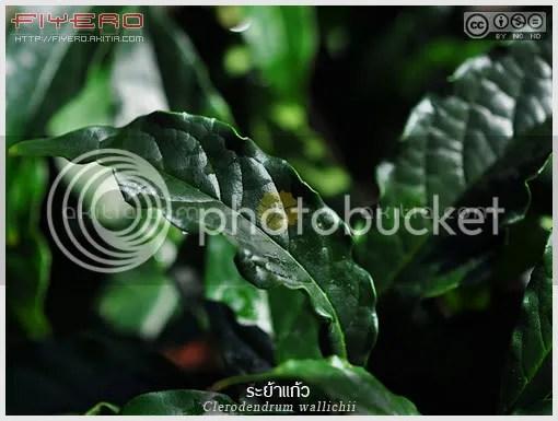 ระย้าแก้ว, สร้อยสายเพชร, Clerodendrum wallichii, Clerodendrum Prospero, ไม้ดอกหอม, ดอกสีขาว, ไม้พุ่ม, ออกดอกหน้าหนาว, ต้นไม้, ดอกไม้, aKitia.Com