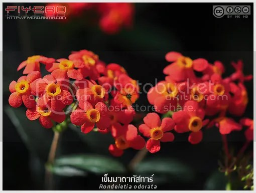 เข็มมาดากัสการ์, เข็มแสด, เข็มจูจุ๊บ, Rondeletia odorata, Fragrant Panama Rose, ไม้แปลก, ไม้หายาก, ดอกสีส้ม, ไม้ดอก, ไม้ประดับ, ต้นไม้, ดอกไม้, aKitia.Com