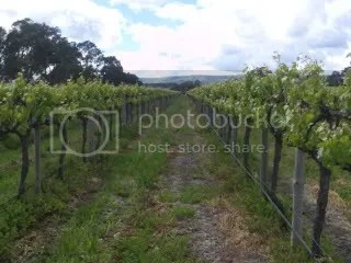 Genders 13 Rows Shiraz Vines