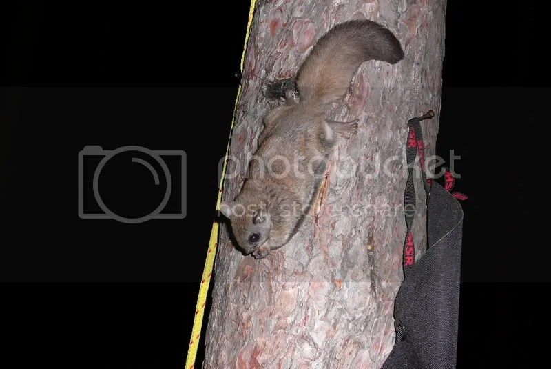 445.jpg northern flying squirrel image by camper-mike