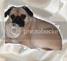 luxury pug