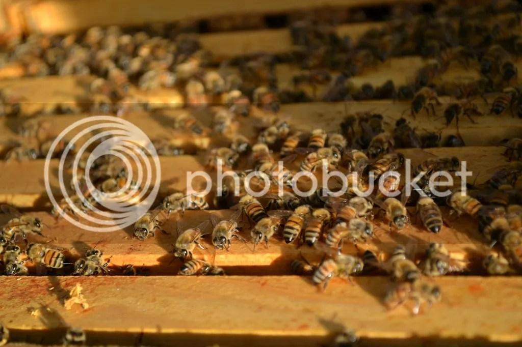 photo Bees8_zpslqyylqqz.jpg
