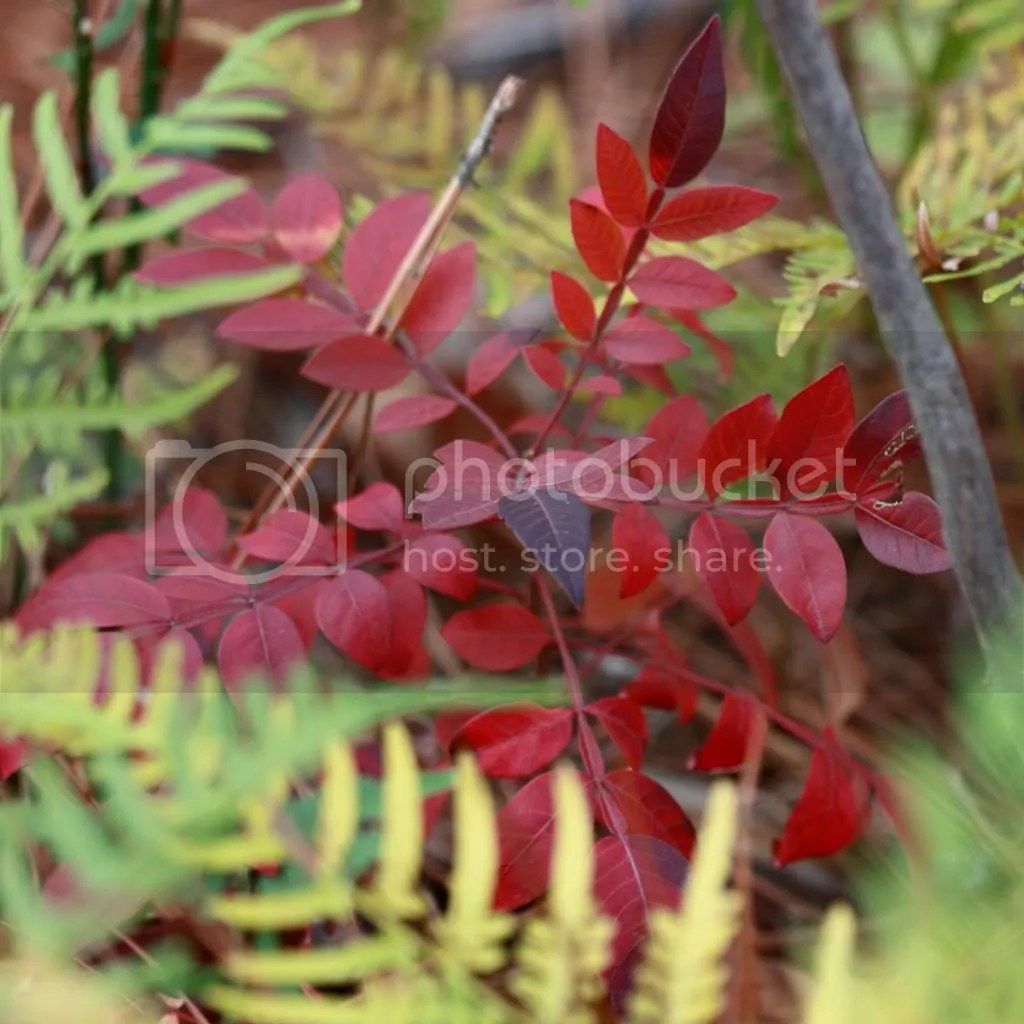 Red foliage amid ferns, late autumn, SC