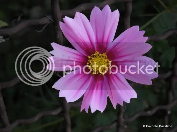 pink rudbeckia