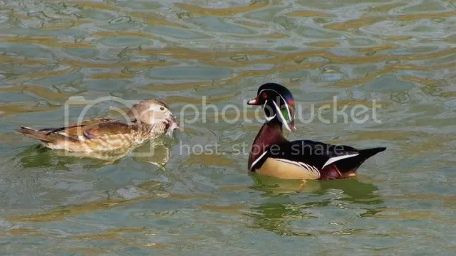 wood duck couple and fish 280210 photo IMG_2248.jpg