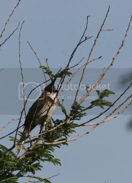 red-whiskered bulbul vs 100710 photo IMG_6372.jpg