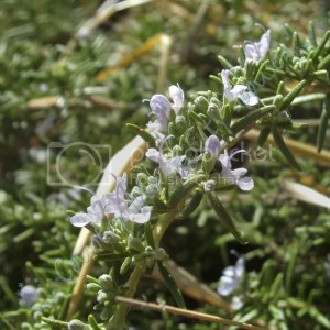 Rosemary: Six Easy Herbs to Get You Started Growing Your Own Medicine- Country Mouse City Spouse