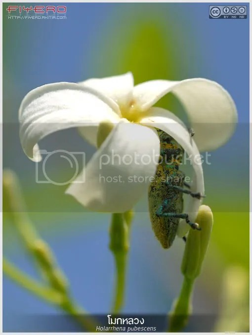 โมกหลวง, โมกใหญ่, ต้นโมกหลวง, ดอกโมกหลวง, Holarrhena pubescens, ไม้ดอกหอม, ไม้ยืนต้น, ไม้ไทย, ดอกไม้สีขาว, ต้นไม้, aKitia.Com